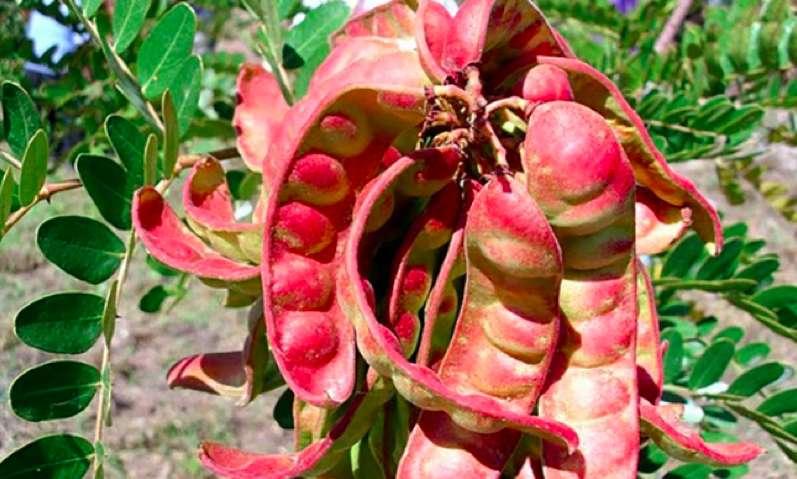 La taya se consolida como el producto exportador estrella de Cajamarca