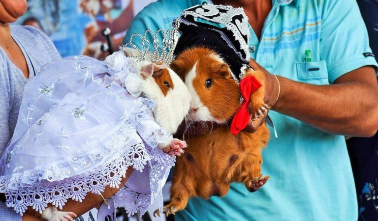 Cajabamba celebró matrimonio de Rey y Reina cuy